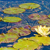 Water Lilies, Mission Santa Barbara Fountain4755