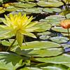 WaterliliesSanJuanCap5992