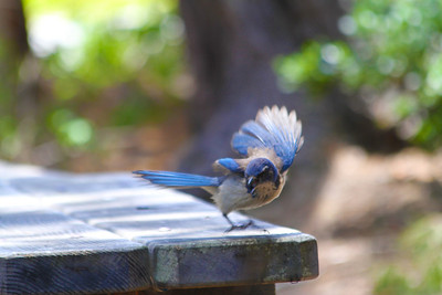 Western Scrub-Jay (Aphelocoma californica). Point Lobos State Reserve - Big Sur, CA, USA