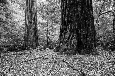 Coast Redwood (Sequoia sempervirens). Skyline-to-the-Sea Trail. Big Basin State Park, CA, USA