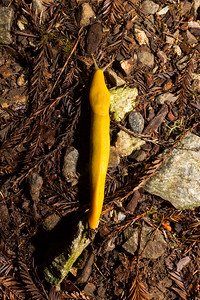 Banana Slug. Fall Creek Unit of Henry Cowell Redwoods State Park, CA, USA