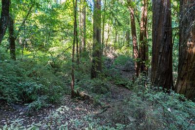 Coast Redwood (Sequoia sempervirens). Sequoia Trail. Big Basin State Park, CA, USA