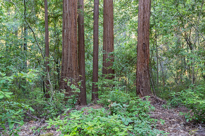 Coast Redwood (Sequoia sempervirens). Sky Meadow Road. Big Basin State Park - Boulder Creek, CA, USA
