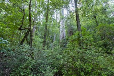 Coast Redwood (Sequoia sempervirens). Sky Meadow Road. Big Basin State Park, CA, USA