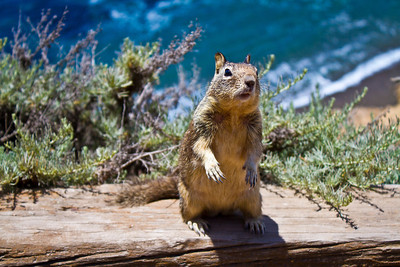 Squirrel. Point Lobos State Reserve - Big Sur, CA, USA
