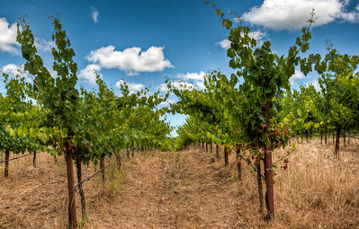 frey-grape-vineyard-4