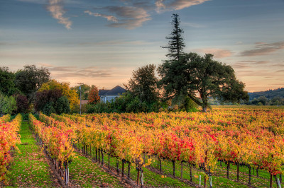 wine-grapes-vineyard-fall-6