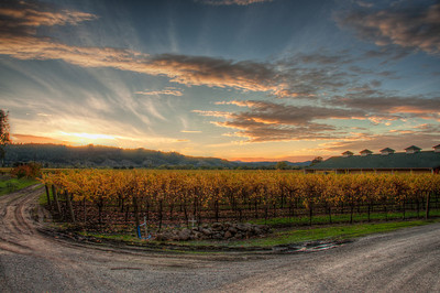 wine-grapes-vineyard-sunset-fall