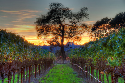 california-wine-grapes-vineyard-fall-6