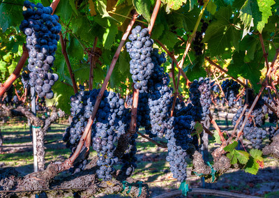 purple-wine-grapes