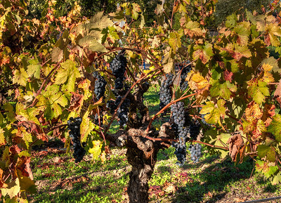 fall-wine-grapes