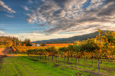 wine-grapes-vineyard-fall-5