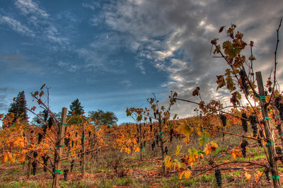 fall-grapes-vineyard-2