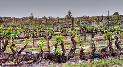 california-grape-vineyard-spring-2