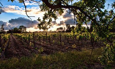 spring-wine-grape-vineyard-3