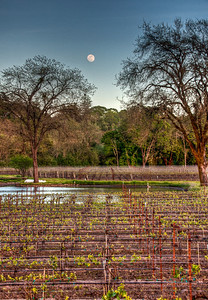 california-vineyard-grapes-moon-spring-5
