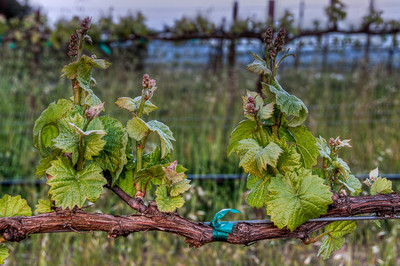 california-vineyard-grapes-spring-10