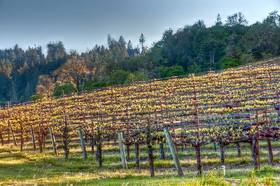 california-vineyard-grapes-spring