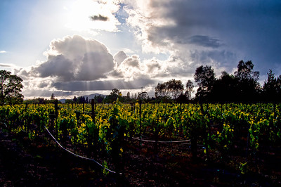 spring-wine-grape-vineyard