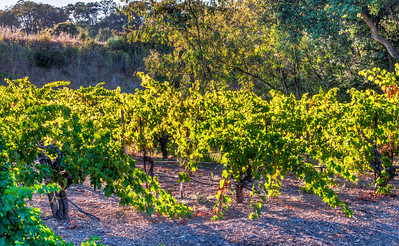 wine-grape-vineyard-2