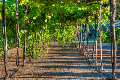 tall-grape-vines
