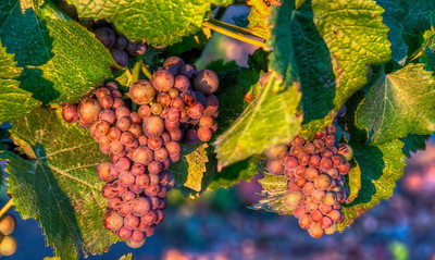 summer-wine-grapes-2
