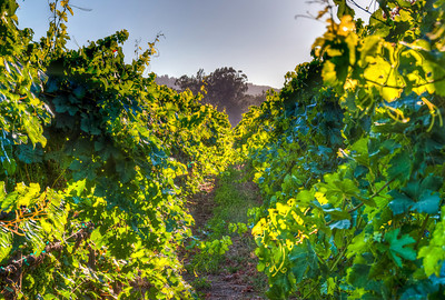 summer-grape-vineyard-2
