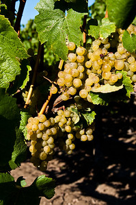 vineyard-wine-grapes