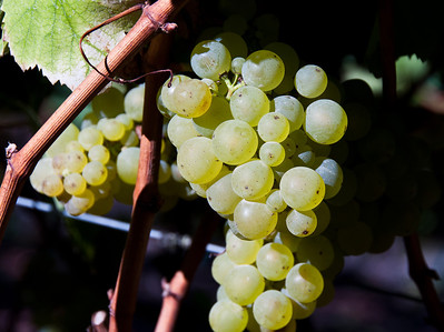 green-wine-grapes
