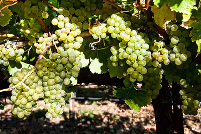 vineyard-wine-grapes-2