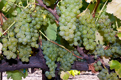 green-wine-grapes-2