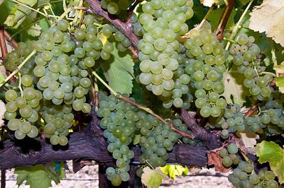 green-wine-grapes-2
