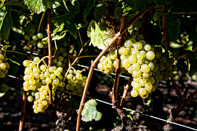 green-wine-grapes-3