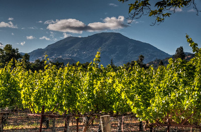 mt-st-helena-vineyard-2