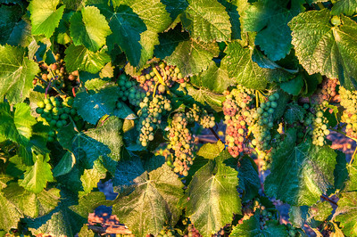 summer-wine-grapes