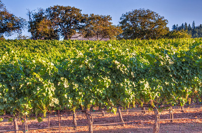 summer-grape-vineyard-3