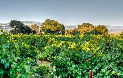 summer-grape-vineyard