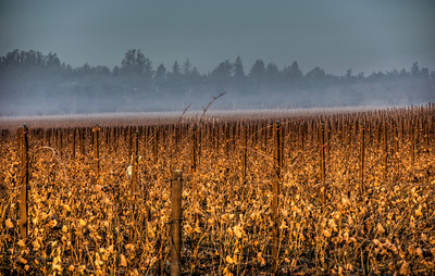 winter-grape-vineyard