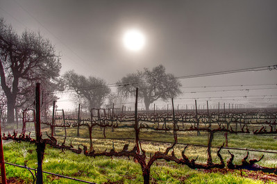 foggy-winter-vineyard