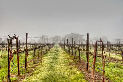 foggy-winter-vineyard-2