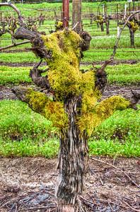 mossy-grape-vine