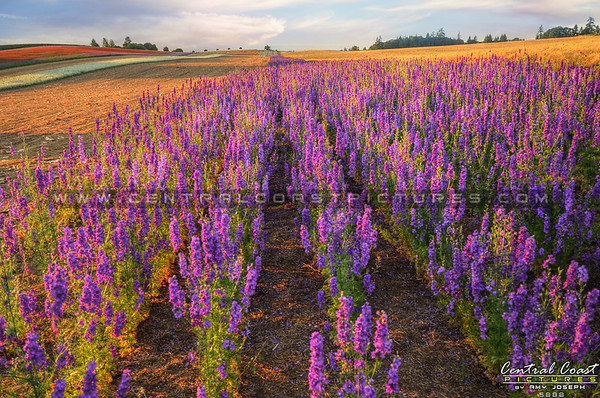 flower-field_5888-ccp