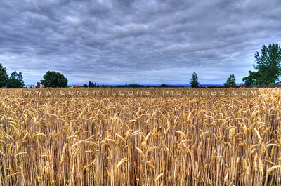 oregon-field_6367