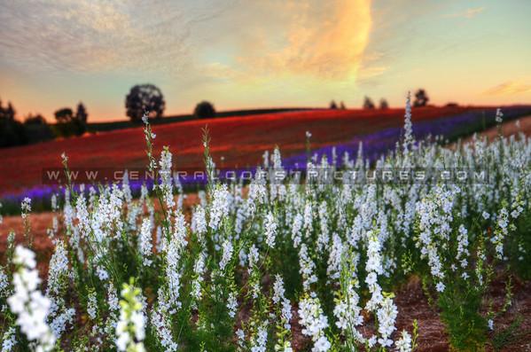flower-field_5936