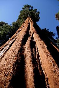 Entire Sequoia Tree