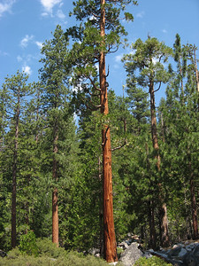 A california Redwood