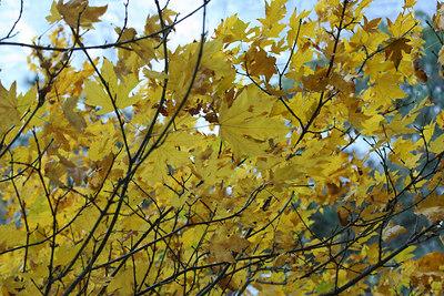 Yellow Leaves at Yosemite
