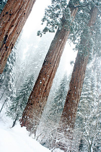 Sequoias during a snow storm