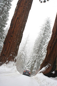 Our car in a snow storm between two sequoia trees