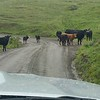 Cows wander in the road along the open range of Kneeland Road, near Bridgeville. (Meredith)